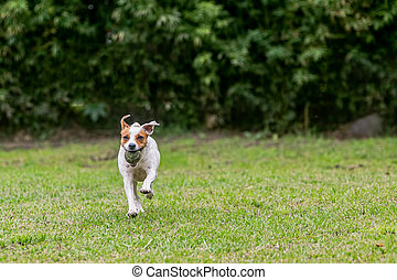 Jack Russell Terrier Chasing His Toy - Jack Russell Terrier...