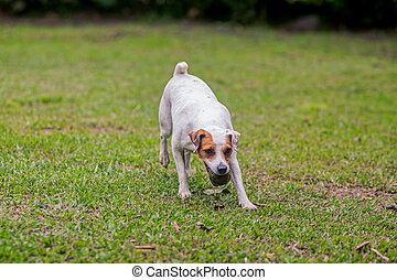Jack Russell Terrier Chasing His Toy