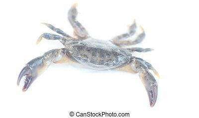 Crab stands in aggressive postures