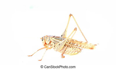 locust clean his eyes and spinning on white background -...