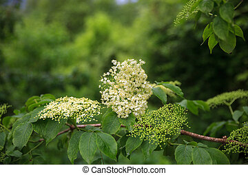 Close up of Elder flower called also elderberry or...