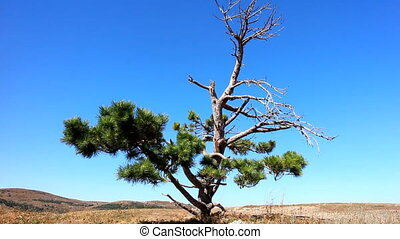 Lonely old half dry pine on plateau 1. Dry mountain meadows...