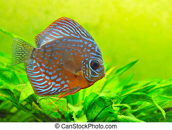 discus - portrait of a blue tropical Symphysodon discus fish...