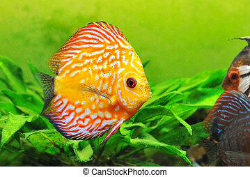 discus - portrait of a red and yellow tropical Symphysodon...
