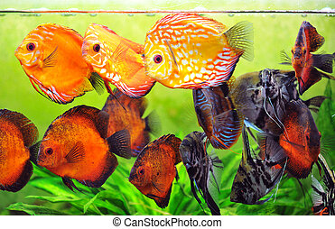 aquarium - pterophyllum scalare and symphysodon discus in a...