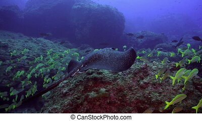 Black stingray swims over deep, rocky reef - Black blotched...