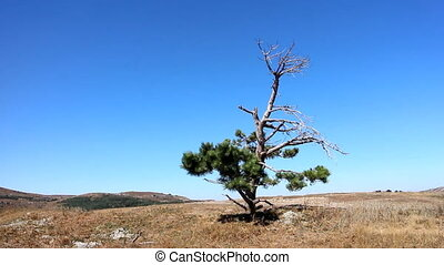 Lonely old half dry pine on plateau 2. Dry mountain meadows...