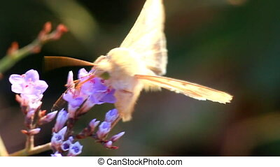 The moth feeds on nectar on the flowers of limonium -...
