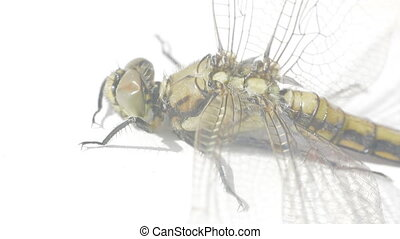 Adult dragonflies completes its life cycle - Old dragonfly...