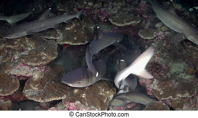 Whitetip Reef sharks At Nighth In search of food. - Whitetip...