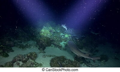 Whitetip Reef sharks At Nighth In search of food - Whitetip...