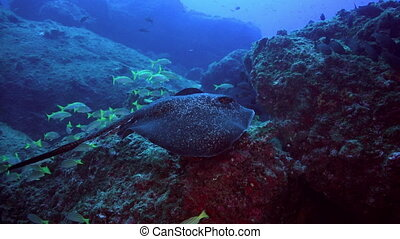 Black stingray swims over deep, rocky reef. - Black blotched...