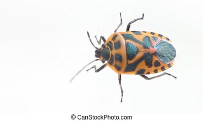 Bright red and black fire bug Example of mimicry - Bright...