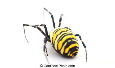 Big flashy yellow-and-black spider Example of aposematic...