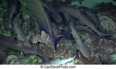 Whitetip Reef sharks At Night In search of food. - Whitetip...