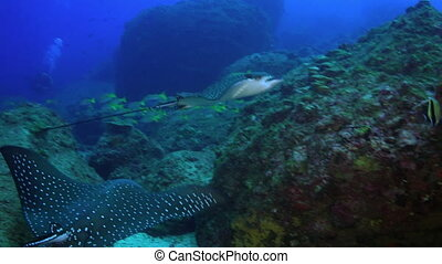 Spotted eagle ray swims on deep, rocky reef - Spotted eagle...