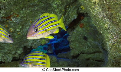 Yellow School Goatfish swims over rocky reef - Yellow School...