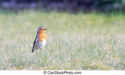 European robin on the grass