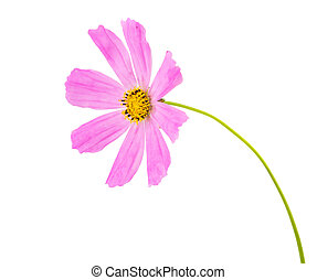 Pink Cosmea Rose Beautiful Cosmos Flower isolated on white...