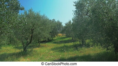 Rows of Trees in Olive Garden - Rows of olive trees growing...