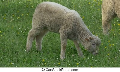 Lamb Grazing Fresh Grass - A lamb is grazing in the...