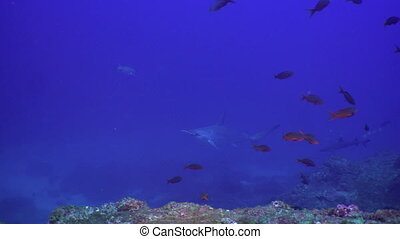 Whitetip Reef sharks on rocky reef search food. - Whitetip...