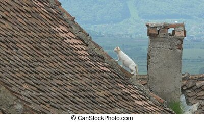 Cat on Old Tiles Roof - A cat walking on the tiled old...