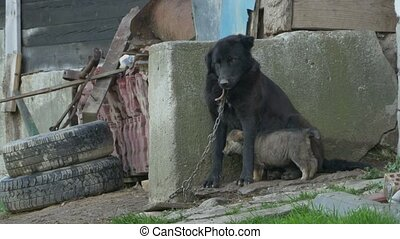 Dog Kept in Chains - A dog with her puppy kept in chain,