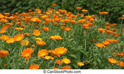 Marigold flower herb blooms move in wind in rural farm...