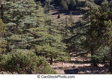 Lebanese cedar tree in the forest peak mountains - Lebanese...
