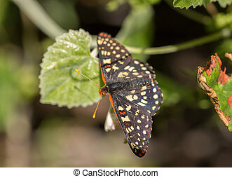 Variable Checkerspot butterfly - Variable Checkerspot,...