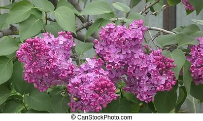 Blooming lilac morning - Blooming lilac in spring morning
