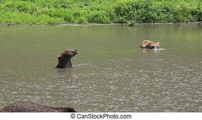 Wild Bear Playing in Water