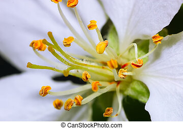 Stems of white flowers of apple tree - image with shallow...