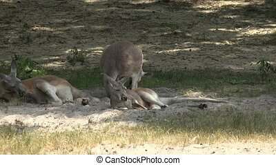 Wild Kangaroos at National Park