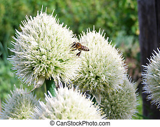 white flowers of the onion and the bee