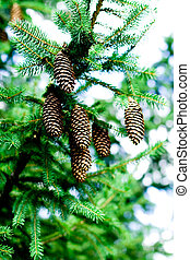 pinecones hanging from the branches of an evergreen tree