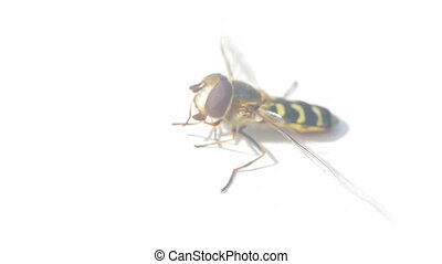 Concept of cleanliness and medicine. Syrphid closeup cleans...
