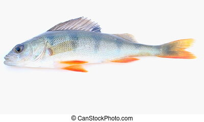 Fisherman caught perch shot on white background - striped...