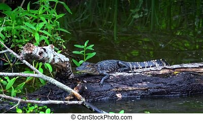 Baby alligator in the swamp of Louisiana