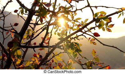Chilled sun. Sun shivering in autumn wind through wild rose...