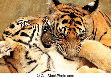 Tiger Cubs Fighting