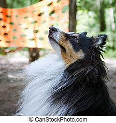 Sheltie dog closeup