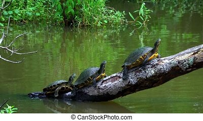 Turtles in the swamps of Louisiana