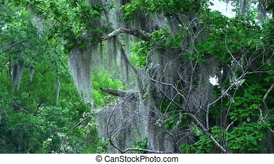 Amazing nature in Louisiana swamps - Wild vegetation in...