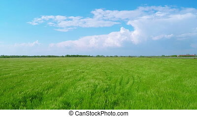 Flying over Green Wheat Fields - Flying over Large Green...