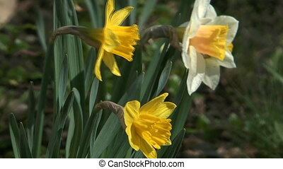 Narcissuses on a bed.