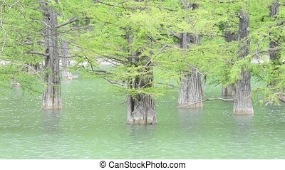 Tree trunks of cypress swamp, growing out of the water...