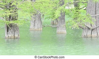 Tree trunks of cypress swamp closeup in water