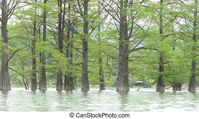 Trunks closeup cypress swamp, growing out of the water